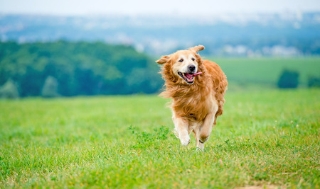 Photo for Golden retriever dog running on the field - Royalty Free Image