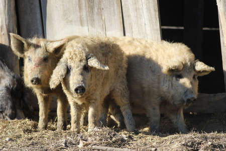 Tale of the Three Little Pigs, Mangalica a Hungarian breed of domestic pig