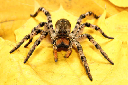 Foto de Dangerous creepy  tarantula Lycosa singoriensis on yellow leaves - Imagen libre de derechos