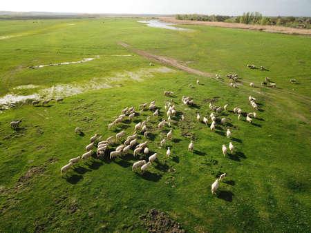 Foto de Aerial view of grazing sheep flock on spring meadow - Imagen libre de derechos