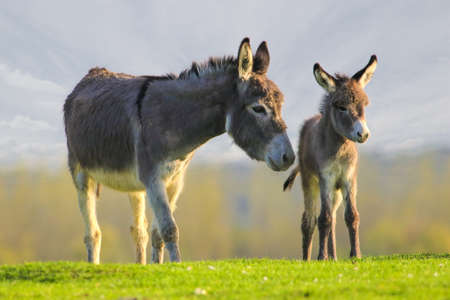 Photo pour Grey cute baby donkey and mother on floral meadow - image libre de droit
