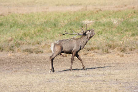 Photo pour Roaring red deer Cervus elaphus in rutting season on the meadow - image libre de droit