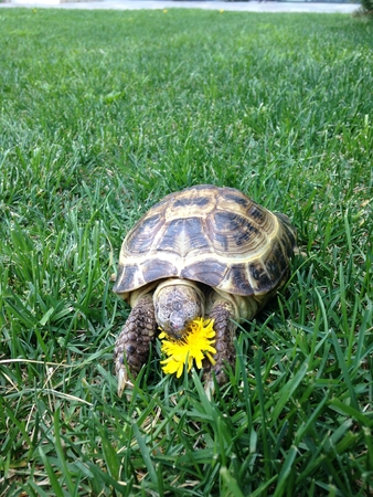 Photo for a turtle eating flower in green grass - Royalty Free Image