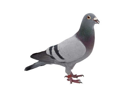Photo for Grey sport pigeon isolated on white background - Royalty Free Image