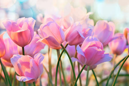 Foto de Pink tulips in flower greenhouse on  pastel background - Imagen libre de derechos