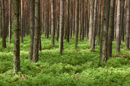 Foto de Pine forest  Pinus sylvestris   Spring time   - Imagen libre de derechos