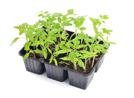 Photo pour Tomato seedlings in a pot isolated on white background. Young plants in plastic cells; organic gardening - image libre de droit