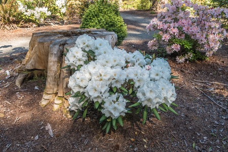 Photo pour Landscape shot of white nd pink Rhododendron flowers. - image libre de droit
