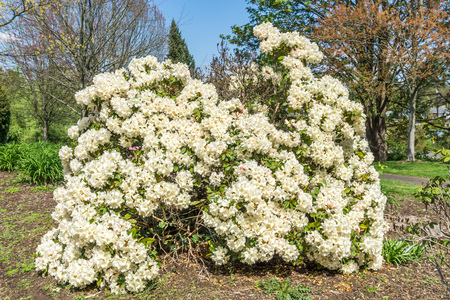 Photo pour An abundance of white flowers adorn this Rhododendron bush in Seatac, Washington. - image libre de droit