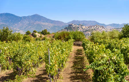 Photo for vineyard on the Mount Etna and Castiglione of Sicily on background, sicily, italy - Royalty Free Image