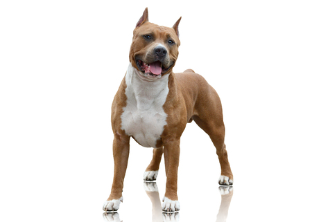 Photo for American Staffordshire Terrier standing on white background - Royalty Free Image