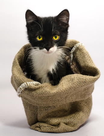 Photo for A black and white cat with yellow eyes thrust its muzzle out of a sackcloth bag - Royalty Free Image