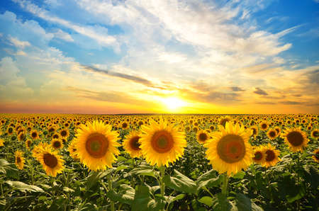 Foto de field of blooming sunflowers on a background sunset - Imagen libre de derechos