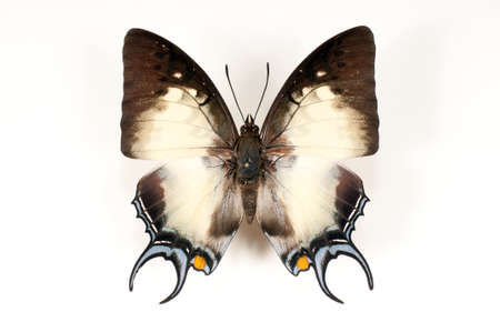 Dried unfolding of a butterfly on a white background