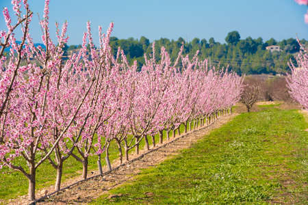 Photo pour Lines of flowering almond trees against blue sky - image libre de droit