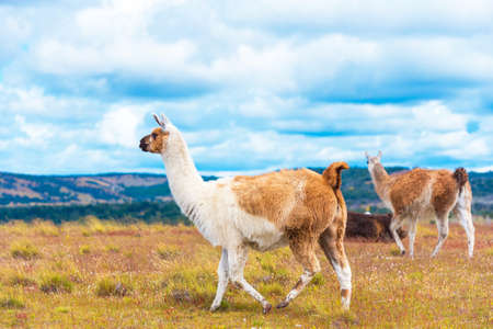 Photo for Guanaco lamas in national park Torres del Paine mountains, Patagonia, Chile, South America. Copy space for text - Royalty Free Image