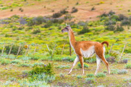 Photo for Guanaco lama in national park Torres del Paine mountains, Patagonia, Chile, South America. With selective focus - Royalty Free Image