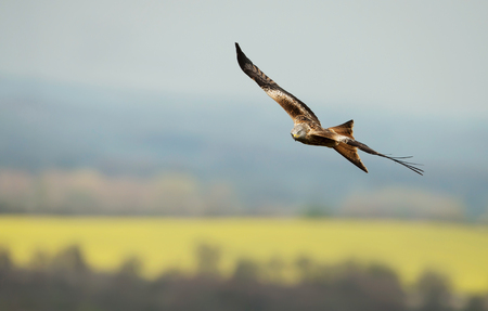 Photo for Red kite flying over yellow farmland fields in summer, Oxfordshire, UK. - Royalty Free Image