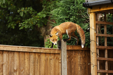 Photo pour Close up of a Red fox walking on the fence in the back garden, England, UK. - image libre de droit