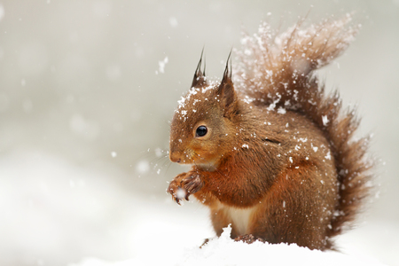 Foto de Cute Red squirrel in the falling snow, UK. - Imagen libre de derechos