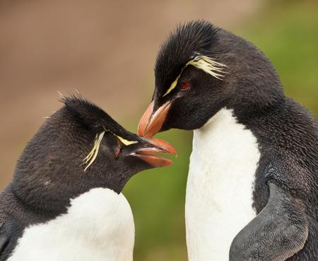 Foto de Close up of Rockhopper penguins preening each other, Falkland islands. - Imagen libre de derechos