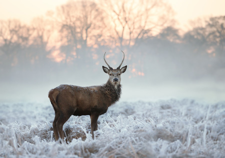 Photo pour Young red deer buck standing in the frosted grass on an early cold winter morning, England. Animals in winter. - image libre de droit