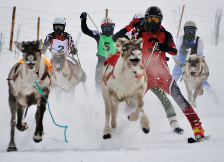 Photo for winter sport in lapland finland deer race competition in the deer league - Royalty Free Image