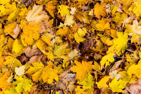 Photo for yellow leaves in the autumn - Royalty Free Image