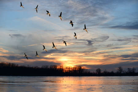 Photo pour Group of Canadian geese flying i V formation over frozen lake - image libre de droit