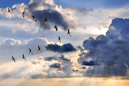 Photo pour Group of Canadian geese flying in V-formation over sunburst - image libre de droit