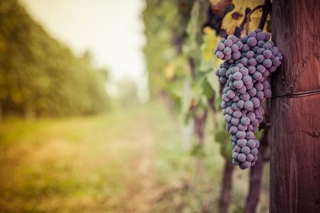 Photo pour Bunch of grapes ready for harvest in the Langhe - image libre de droit