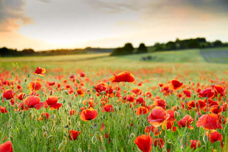 Photo pour Close up poppy field in may - image libre de droit
