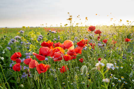 Photo pour Meadow full of wild flowers in summer at sunset - image libre de droit