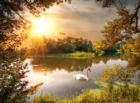 Photo for Swan on the pond in the evening - Royalty Free Image