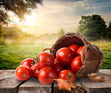 Photo pour Tomatoes in a basket on table and landscape - image libre de droit