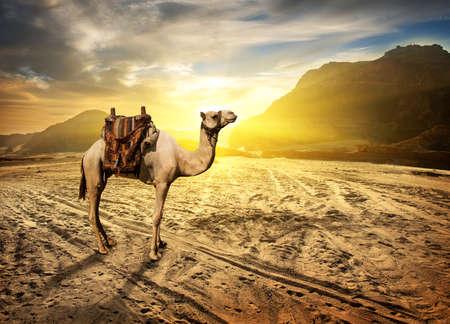 Foto de Camel in sandy desert near mountains at sunset - Imagen libre de derechos