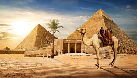 Photo pour Camel near entrance to pyramid of Cheops - image libre de droit