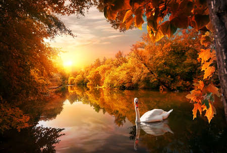 Photo pour White swan on autumn pond in forest at sunrise - image libre de droit