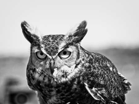 Photo for Southeastern TX USA - Great Horned Owl with food looking at the camera in B - Royalty Free Image