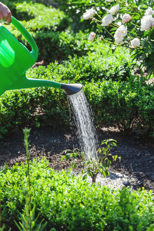Foto de Small shrub watered from a green plastic watering can with a diffuser on the well-kept flower garden  - Imagen libre de derechos