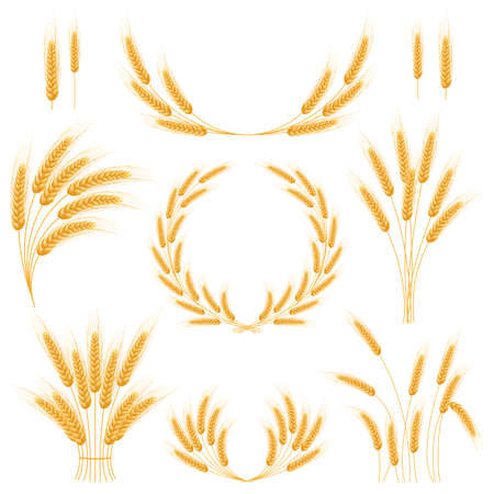 Illustration for Ripe Ears wheat set  Isolated detailed template  EPS10 - Royalty Free Image