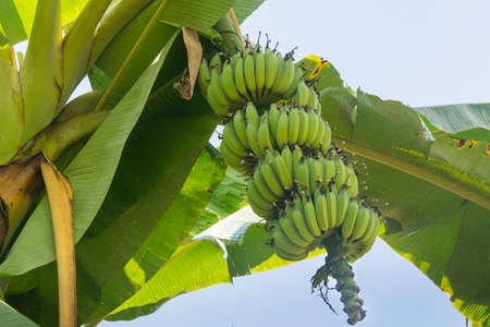 Photo pour Green banana on banana tree - image libre de droit