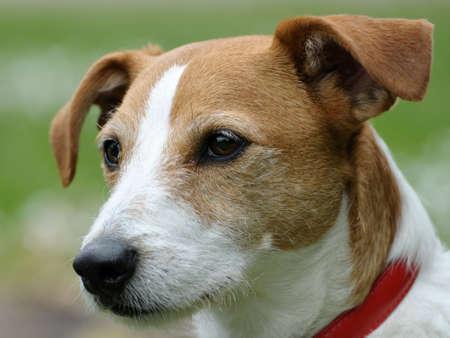 Photo pour Smooth coated Parson Jack Russell Terrier portrait - image libre de droit