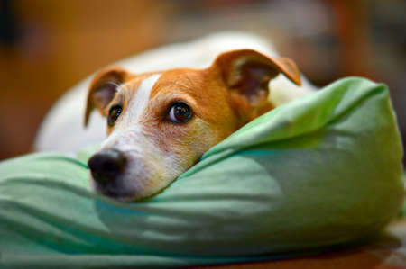 Parson Jack Russell terrier resting on his bed, with selective focus on eyes