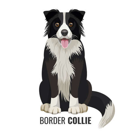 Illustration for Border Collie pet sits isolated on white with its name below vector illustration. Big domestic realistic dog with open mouth - Royalty Free Image