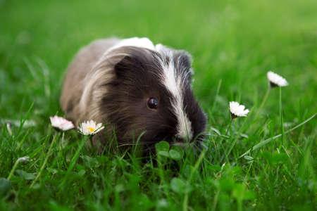 Guinea pig between daisies