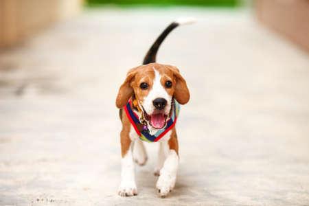 Little puppy Beagle dog running zoom in