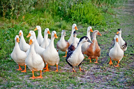 Photo for Domestic ducks flock on the walk - Royalty Free Image