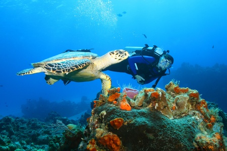 Photo for Hawksbill Turtle (Eretmochelys imbricata)and Diver - Royalty Free Image