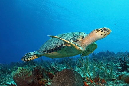 Hawksbill Turtle (Eretmochelys imbricata) swimming over a coral reef - Cozumel, Mexico